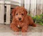 Small Photo #1 Goldendoodle Puppy For Sale in MOUNT VERNON, OH, USA