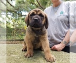Puppy 2 Mastador-Mastiff Mix