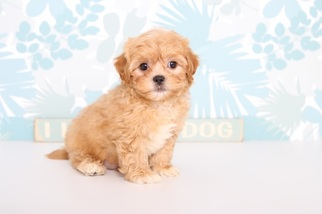 ShihPoo Puppy for sale in NAPLES, FL, USA
