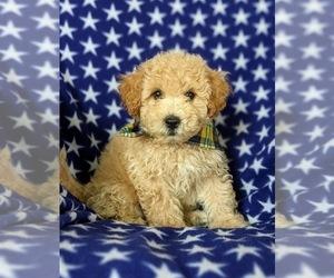 Poochon Puppy for sale in LINCOLN UNIV, PA, USA