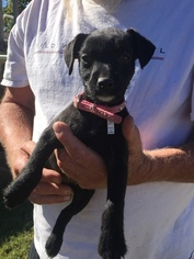 Patterdale Terrier Puppy For Sale in ERICK, OK