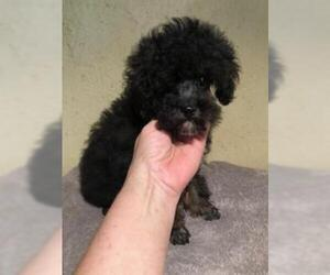 Poodle (Toy) Puppy for sale in SAINT HEDWIG, TX, USA