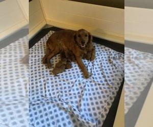 Golden Retriever Puppy for Sale in BRISTOL, Vermont USA