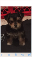 Morkie Puppy For Sale in AUBURN, NH