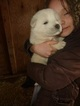 Great Pyrenees Puppy For Sale in STITES, Idaho,