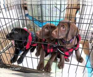 Labrador Retriever Puppy for Sale in RANCHO CUCAMONGA, California USA
