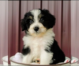 Aussiedoodle Miniature  Puppy for sale in FREDERICK, MD, USA
