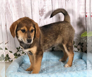 Beagle-Norwegian Elkhound Mix Dog for Adoption in PENNS CREEK, Pennsylvania USA