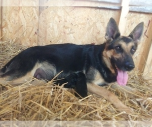 Mother of the German Shepherd Dog puppies born on 09/25/2020