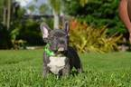 French Bulldog Puppy For Sale in NORTH LAS VEGAS, NV,