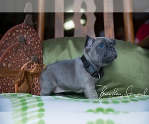 French Bulldog Puppy for Sale in NETTLETON, Mississippi USA