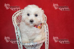 Poochon Puppy For Sale in SANGER, TX, USA