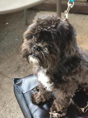 Shih-Poo Puppy For Sale in AXIS, AL, USA