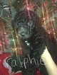 Small Photo #4 Poodle (Standard) Puppy For Sale in TRYON, NC, USA
