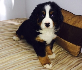 Bernese Mountain Dog Puppy for sale in SANTA ROSA, CA, USA
