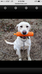 Labrador Retriever Puppy For Sale in LOCUST GROVE, OK, USA