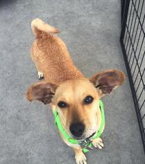 Sonata - Chihuahua / Mixed (short coat) Dog For Adoption