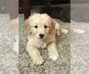 Goldendoodle Puppy for sale in VANCOUVER, WA, USA