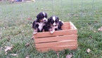 Bernese Hound Puppy For Sale in VANDALIA, OH