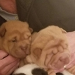 Chinese Shar-Pei Puppy For Sale in PHILADELPHIA, Pennsylvania,