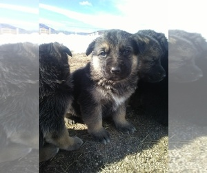 German Shepherd Dog Puppy for Sale in MONUMENT, Colorado USA