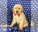 Small Photo #2 Golden Retriever Puppy For Sale in OXFORD, PA, USA