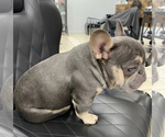 Small Photo #1 French Bulldog Puppy For Sale in BERWYN, IL, USA