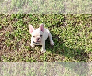 French Bulldog Puppy for sale in CAPE CORAL, FL, USA