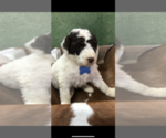 Image preview for Ad Listing. Nickname: Male poodle
