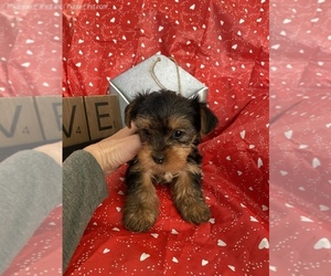 Yorkshire Terrier Puppy for Sale in SIERRA VISTA, Arizona USA