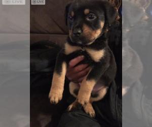 Rottweiler Dog for Adoption in BERKELEY, California USA
