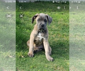 Cane Corso Puppy for sale in HUTTO, TX, USA