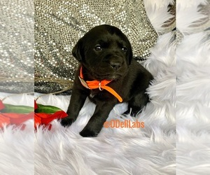 Labrador Retriever Puppy for sale in SULLIVAN, MO, USA