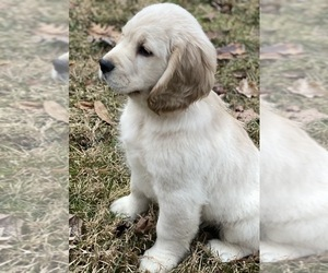 Golden Cocker Retriever Puppy for Sale in MORGANTOWN, Indiana USA