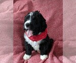 Bernedoodle Puppy For Sale in LULING, TX, USA