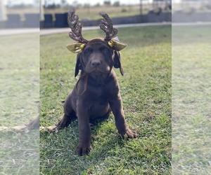 Labrador Retriever Puppy for sale in EUSTACE, TX, USA