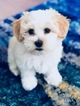 Havanese Puppy For Sale in SAN JOSE, California,