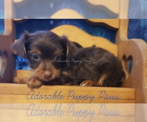 Yorkshire Terrier Puppy for sale in ATHENS, AL, USA