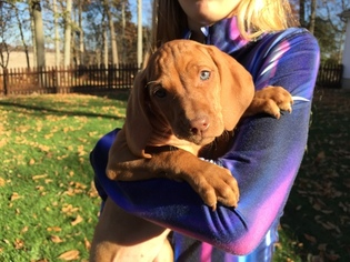 Vizsla Puppy For Sale in WARSAW, IN