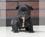 Puppy 8 French Bulldog