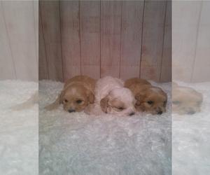 Cavachon Puppy for Sale in LISBON, Ohio USA
