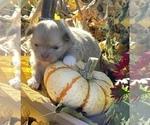 Small #11 Chihuahua