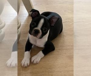 Boston Terrier Puppy for sale in WHITESBORO, TX, USA