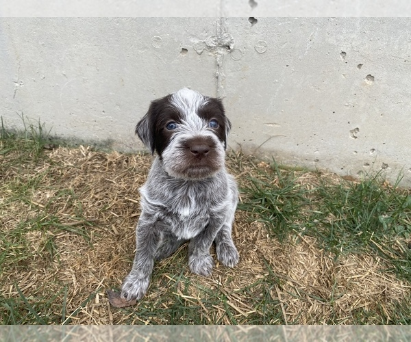 View Ad: German Wirehaired Pointer Puppy for Sale near ...