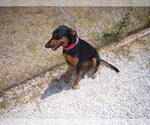 Small #19 Doberman Pinscher