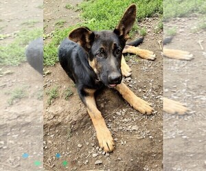 German Shepherd Dog Puppy for Sale in EVANS, Washington USA