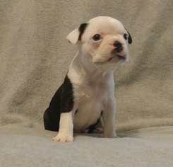 Boston Terrier Puppy For Sale in LIMA, OH