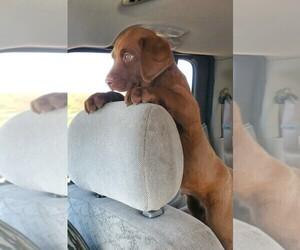 Labrador Retriever Puppy for sale in TULARE, CA, USA