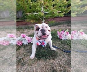 Father of the English Bulldog puppies born on 11/07/2019