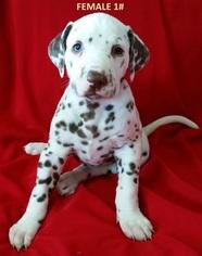 Dalmatian Puppy For Sale in ELKMONT, AL